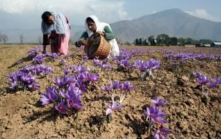چین واردات زعفران ایرانی را ممنوع کرد!