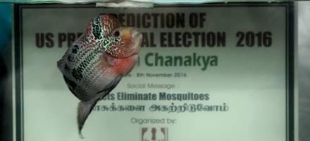ماهی معروف پیشگوی هندی پیروز انتخابات امریکا را مشخص کرد!