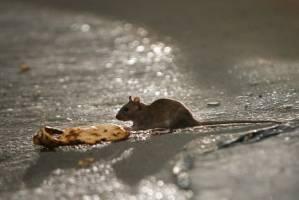 کنترل جمعیت موش در تهران با استفاده از شیوههای علمی