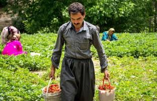 معیشت چند نفر در کردستان به توت فرنگی وابسته است؟