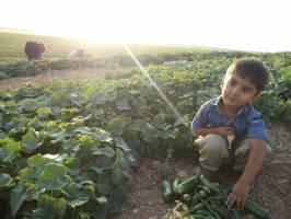 چرا کشاورزان کردستانی محصولات خیارشان را دور می ریزند؟