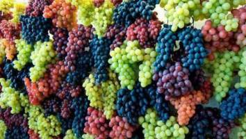 برداشت سالانه 115 هزار تن انگور از باغات انگور کردستان