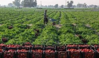 عدم استقبال گوجه کاران کردستانی از فروش توافقی محصولات