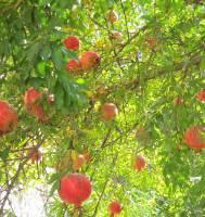کرمانشاه در آستانه ی  فصل برداشت انار