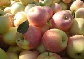 پنج محصول کشاورزی  درکرمانشاه پروانه گواهی حدمجاز آلایندهها را دریافت کردند