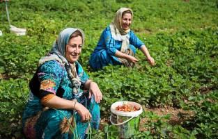 ملکه میوهها کی و چگونه به کردستان آمد؟
